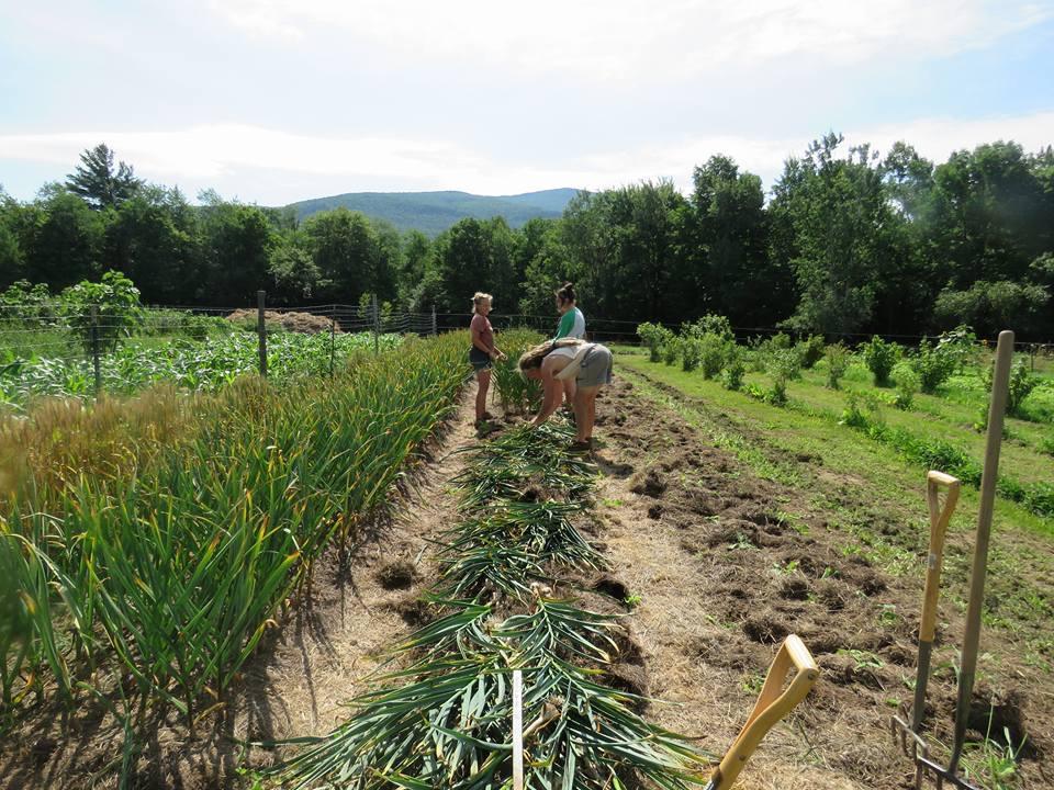 Summer garlic harvest