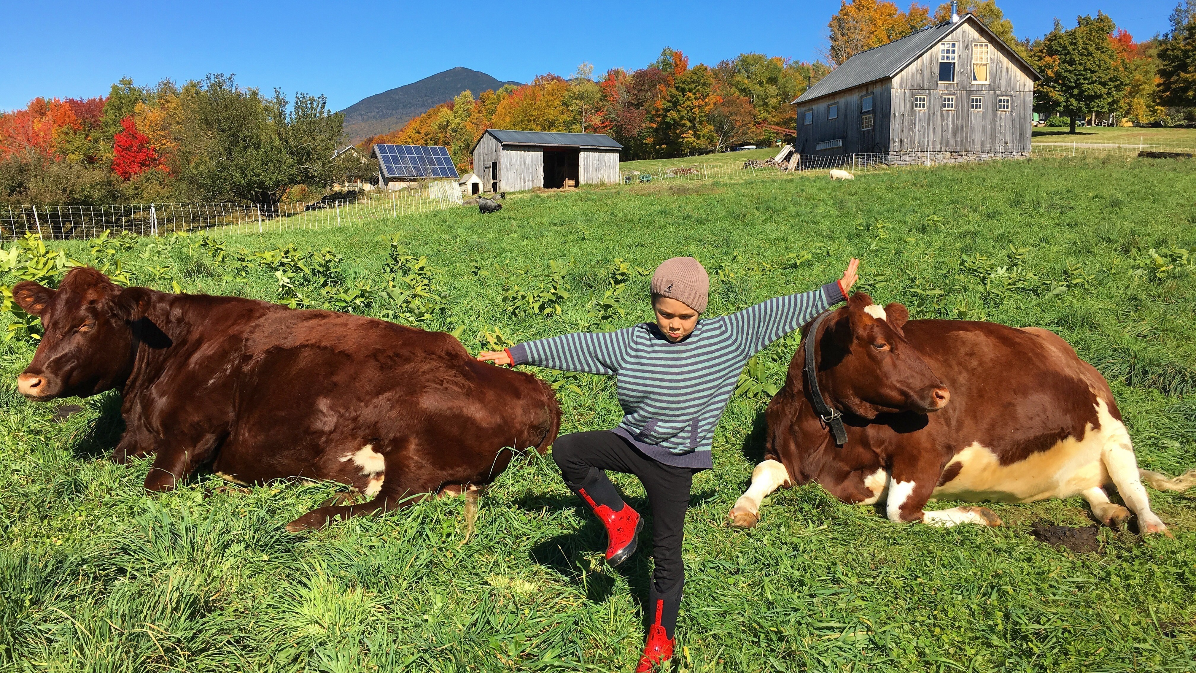 Yoga with cows